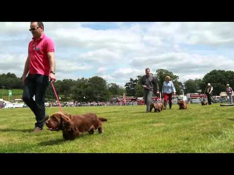 """Shelly"" Sussex Spaniel at Parham Park 2015"