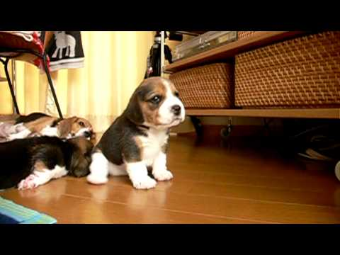 beagle pups : day 23 see parsley play23