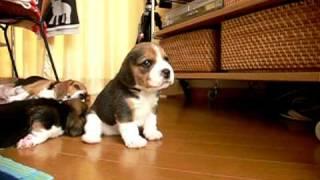 生後23日目のビーグル犬の仔犬たち。やんちゃなパセリ。 http://perkypa...