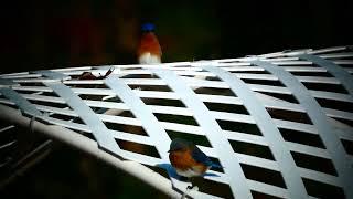 Красивые птички.Eastern bluebird.