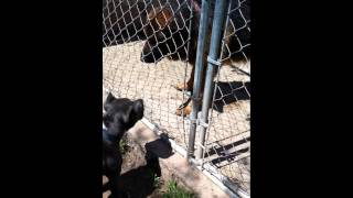 Blue Nose Pittbull Vs German Shepherd