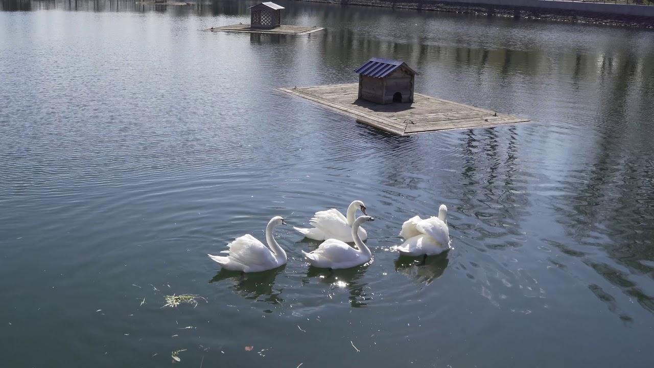 Белые лебеди (Капотня) - YouTube