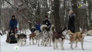 НТВ о северных оленях и ездовых собаках хаски