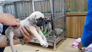 Bán đàn chó Pug siêu cute giá sinh viên để xuống xác Bồ Đào Nha đây =)) PUGK PET