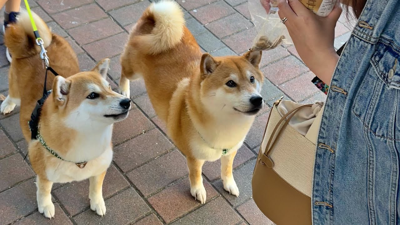 Shiba Inu found her long-lost brother (?)