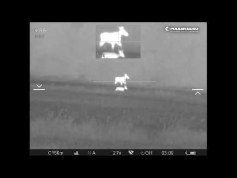 Тепловизионный прицел Pulsar Trail XQ50, охота на диких коз