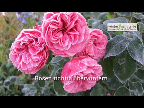 6x Rose €3,33//Stk Beetrose Edeldrose Kletterrose Pflanze Pflanzen Rosen Garten