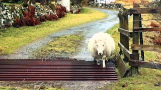 Q: How does a shęep cross a cattlegrid? A: Very ca
