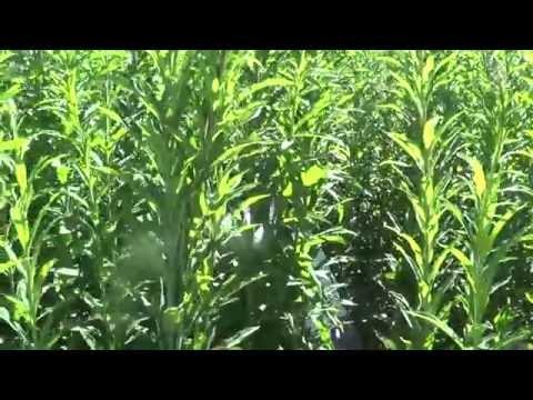 Растение Кипрей Иван-Чай: применение семян и полезные