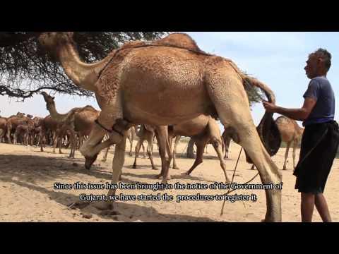 The Kharai Camels: Amazing Camel Breed of India