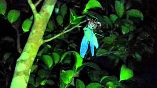 さっき見つけた幼虫を、 近くの木に付けといたら始めました!! 神秘的(*^^*)