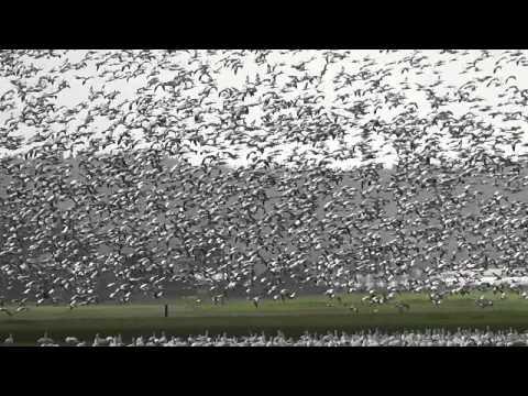 Huge flock of snow geese take off