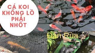 Cá Koi Nhật khổng lồ và đàn Rùa dễ thương !    Japanese Koi and turtles!