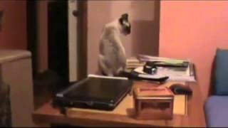 ▶ Тайская кошка поет