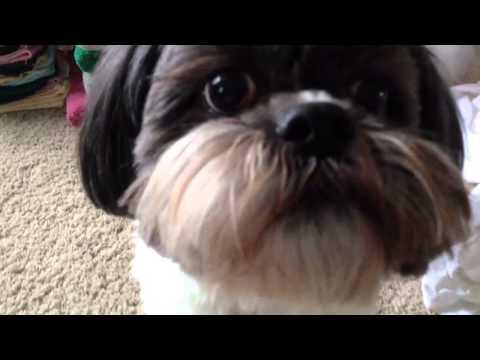Cute Shitzu swatting and barking