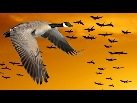 Wisdom of Geese (Motivational)
