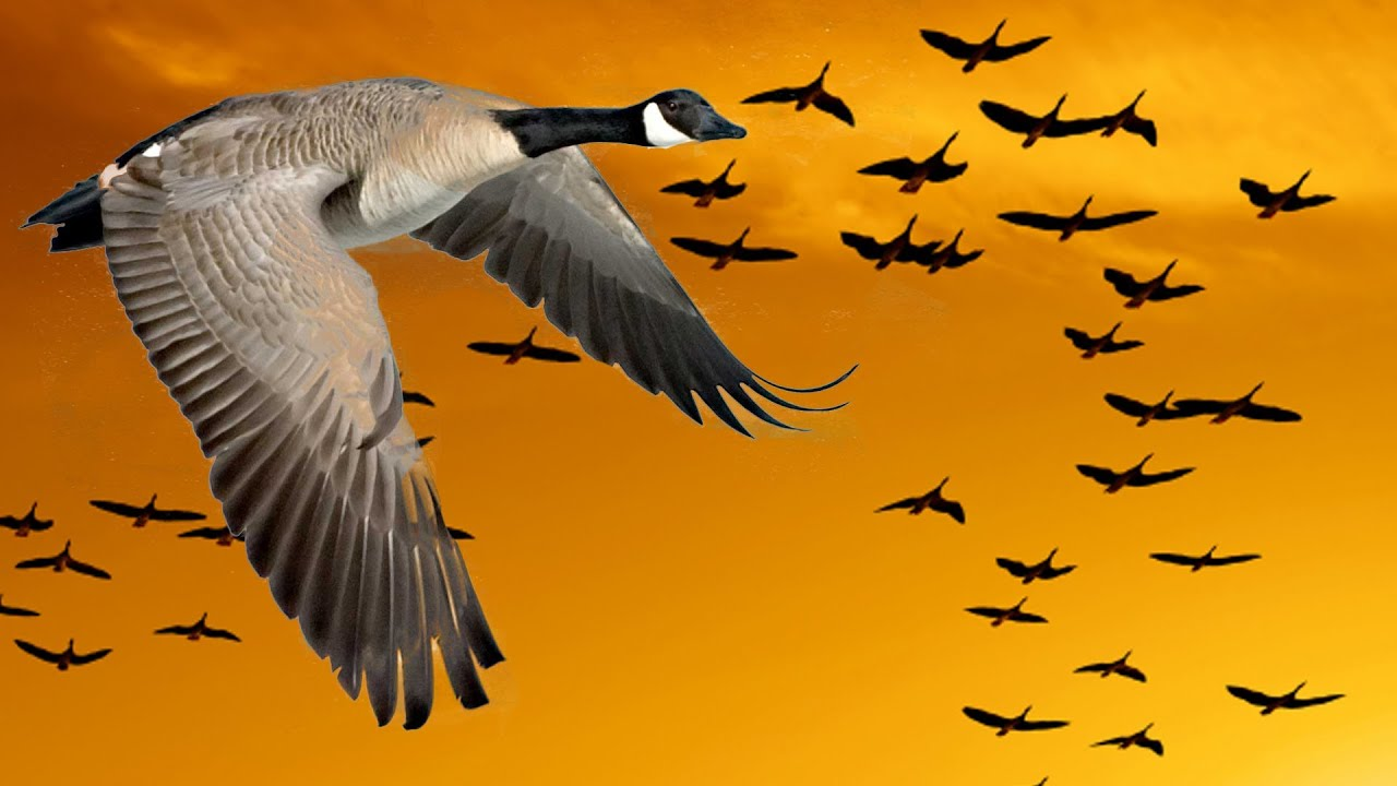 wisdom of geese motivational