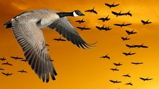 Wisdom of Geese (Motivational)
