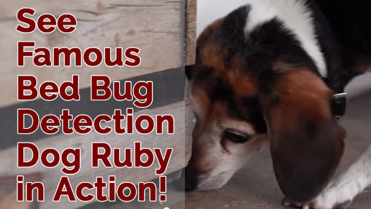 What do bed bugs look like k9 bug detectors - What Do Bed Bugs Look Like K9 Bug Detectors 74