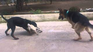 Pug Vs Rottweiler & German Shepherd