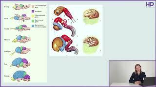 Нейробиология | Онтогенез нервной системы