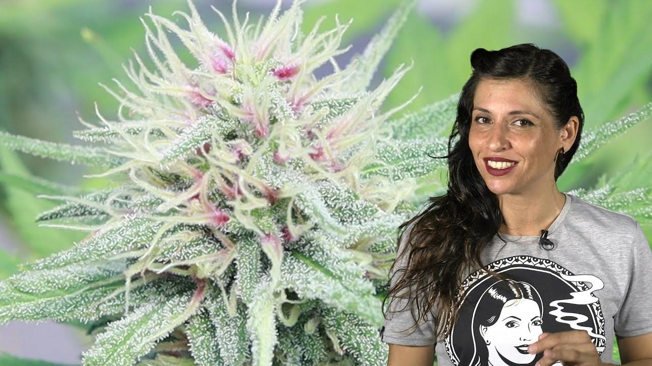 RISA e INGENIO en TRIVIAL CANNÁBICO, WEED EXPO EXPERIENCE y MITOS CANNABIS Marihuana en Cuarentena 8