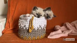 First 8 weeks with Ragdoll KITTENS! Heartwarming Story