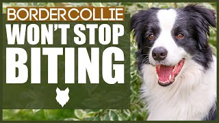 How To Stop A BORDER COLLIE BITING