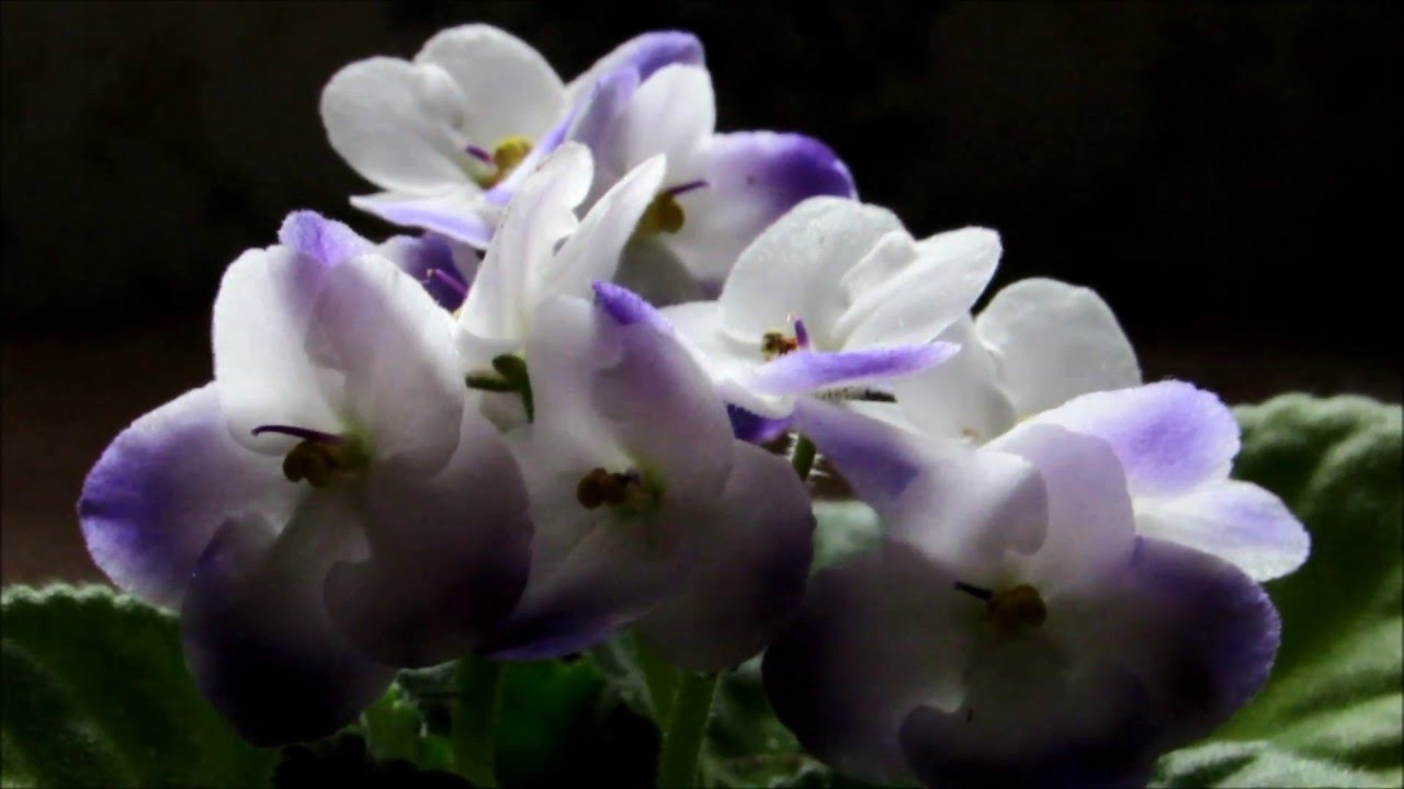 My Beautiful Purple And White Flowering African Violet Is In