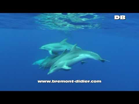 Tursiops truncatus - Tursiops - Grand Dauphin - Bottlenose dolphin - Flipper