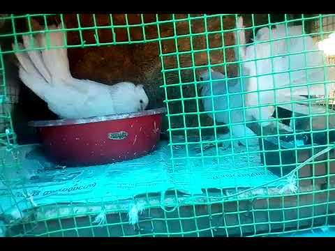 Achu pigeon  kerala