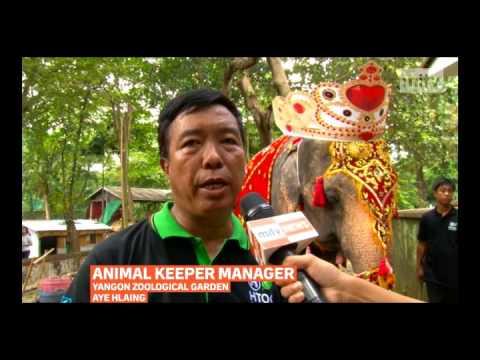mitv - Mo Mo's Birthday: Yangon Zoo Celebrates 62nd Birthday Celebration