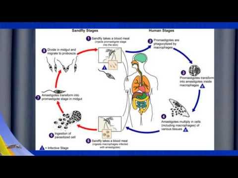 Epidemiology and Transmission - Leishmaniasis