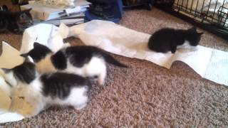 Kittens Playing and Making a Mess thumbnail