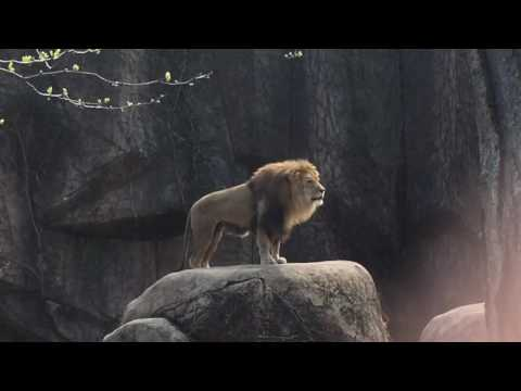 Epic Lion Roar at Lincoln Park Zoo