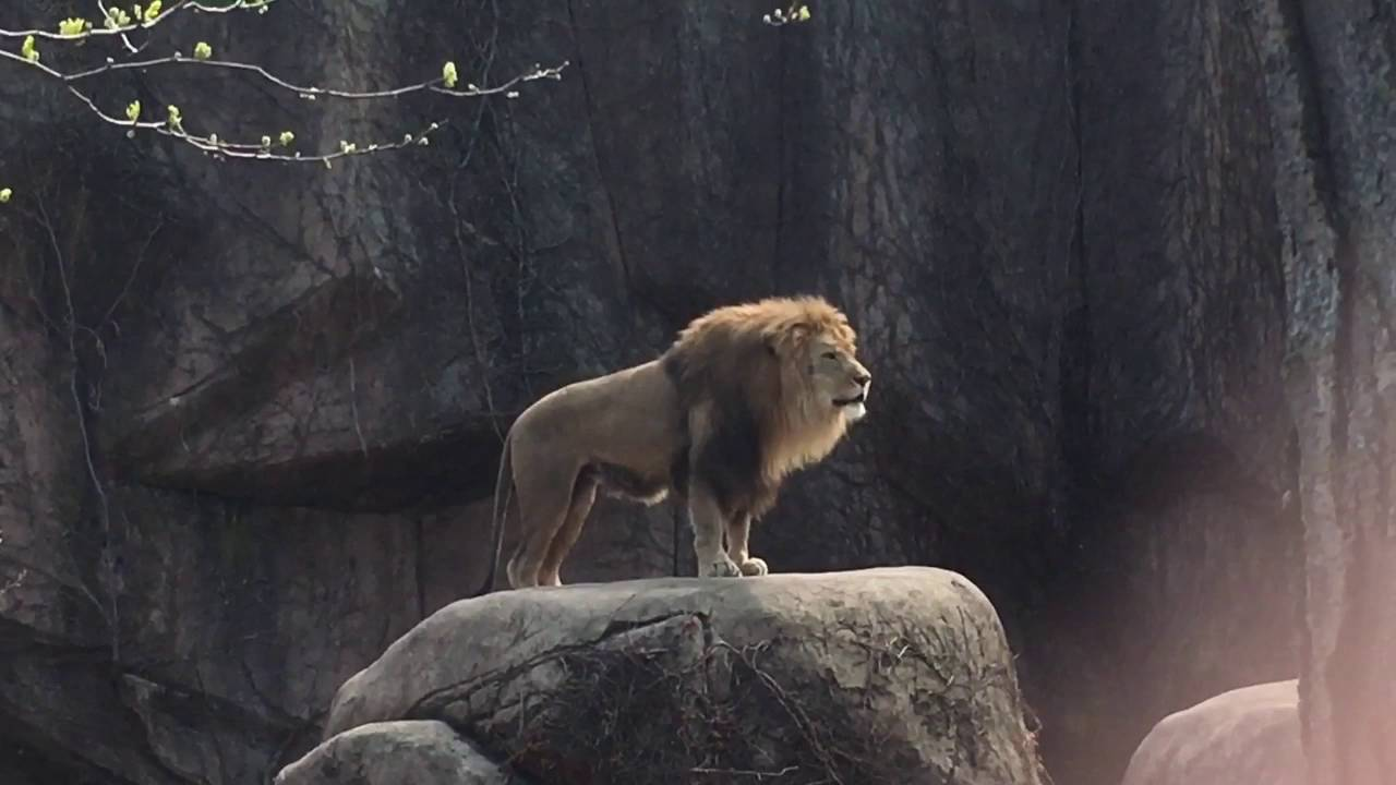 Epic Lion Roar at Lincoln Park Zoo YouTube