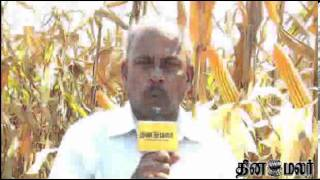 News from Kovai on Maize Cultivation - Dinamalar Nov 28th 2013 Tamil Video News