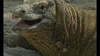 Part 2 Komodo Dragon Animal X