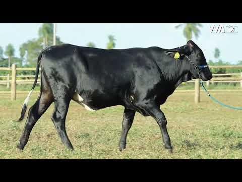 LOTE 47 - 9300 BM - 7º Leilão Gir & Girolando Genética Aditiva