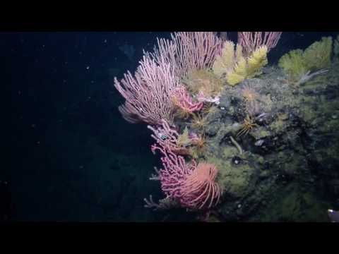 Colorful Corals of the Channel Islands National Marine Sanctuary | Nautilus Live