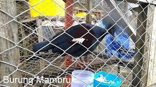 Hewan Langka I Burung Mambruk Endemik Papua I Kota Manokwari