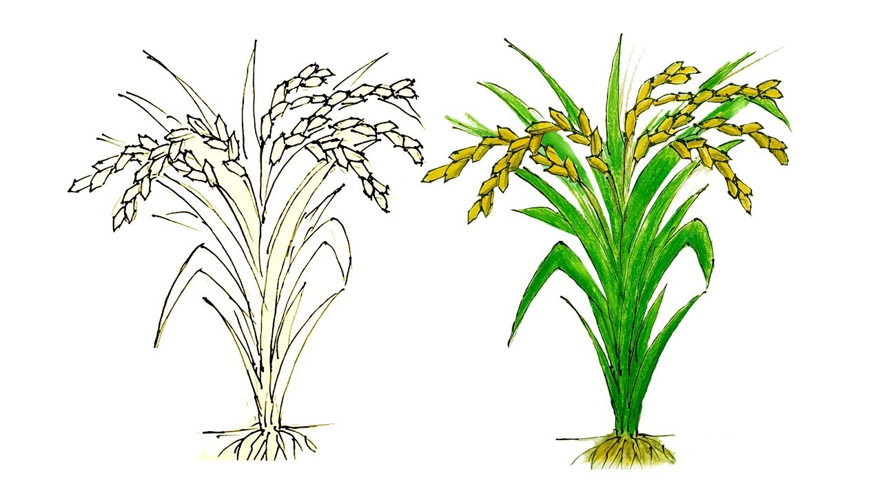 How To Draw Rice Tree Step By Step  Very Easy