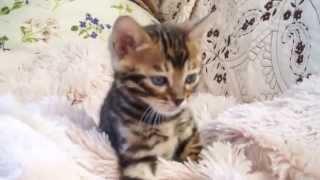 Бусинка в кадре Бенгальские котята в Москве