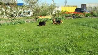 Silky, Australian Terrier Puppies, Mini Pincher