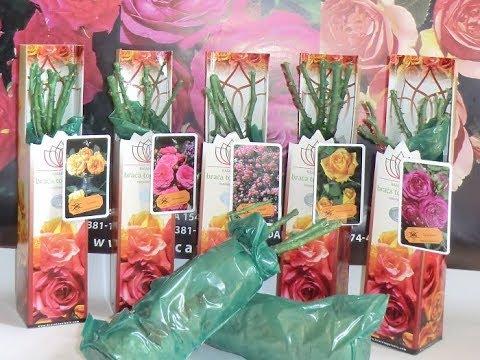 Купили розы зимой! Как их сохранить до посадки в сад?