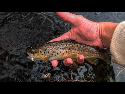 INSANE BROWN TROUT FISHING! / Maine 10/26/19