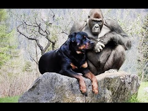 Rottweiler Funny Videos Part 2