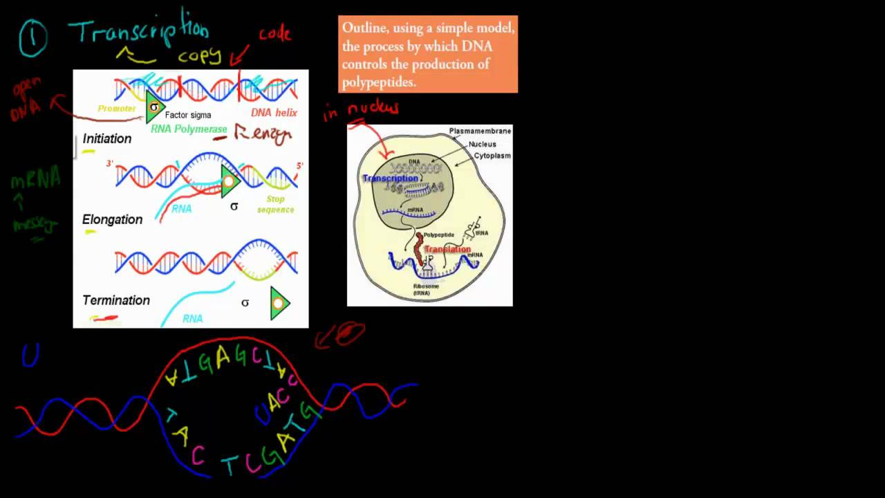 3 protein synthesis hsc biology youtube protein synthesis hsc biology malvernweather Choice Image