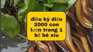 nuôi lươn bằng thức ăn công nghiệp NTN để đạt hiệu quả cao (eels farming)