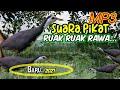 Suara Pikat Ruak Ruak Full  Mp3 - Mp4 Download
